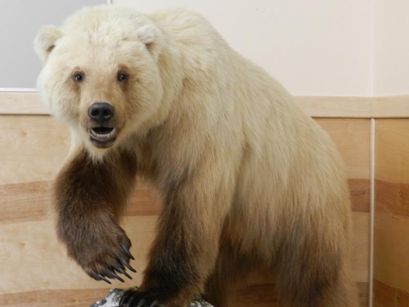 rencontre avec un ours brun Brest