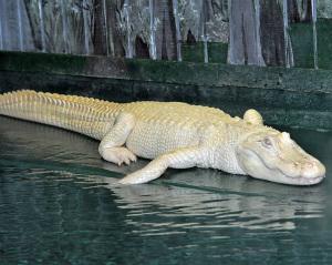 alligator-albinos2