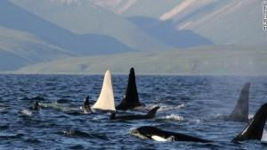 baleine-albinos03