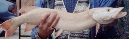 brochet-albinos