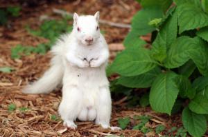 ecureuil-albinos01
