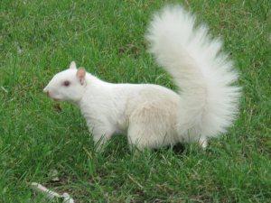 ecureuil-albinos03