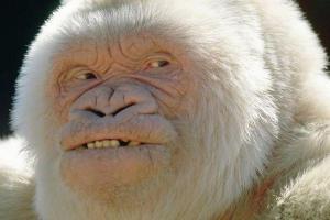 gorille-albinos02
