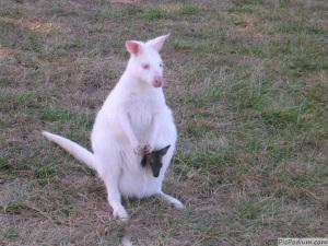 kangourou-albinos04